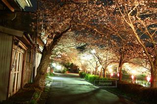 桜祭り入り口の風景の写真・画像素材[2856371]