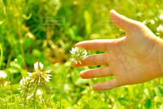 白詰草を発見した子供の手の写真・画像素材[2870189]