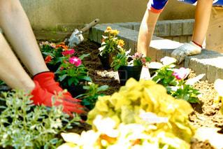 夏休みに花壇で植え付けの写真・画像素材[2870254]