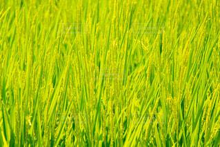 夏の青々とした稲穂たちの写真・画像素材[2870450]