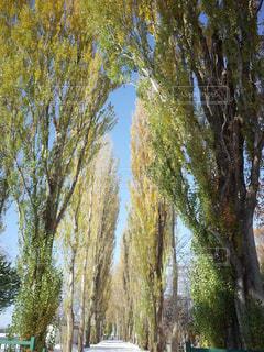 ポプラ並木の写真・画像素材[2807934]