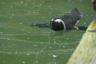優雅に泳ぐケープペンギンの写真・画像素材[3471588]
