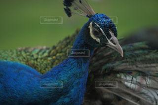 インドクジャク7の写真・画像素材[3472462]