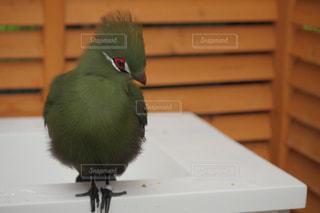 ギニアエボシドリの写真・画像素材[3472497]