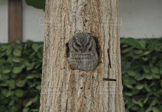木の中のフクロウ2の写真・画像素材[3472922]