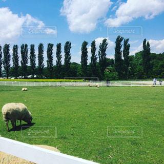 牧場で草を食む羊と並木の写真・画像素材[2838640]