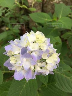 うす紫の一輪のアジサイの写真・画像素材[2815766]