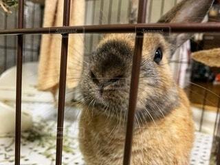 ゲージの中から見つめるウサギの写真・画像素材[4210553]