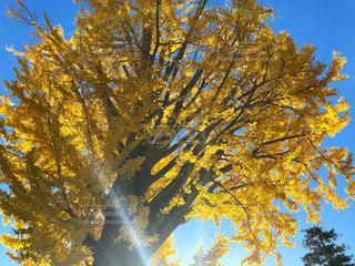 黄色の銀杏の写真・画像素材[2819828]