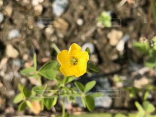 黄色い花のクローズアップの写真・画像素材[3131584]
