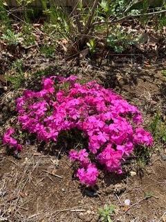 庭の芝桜の写真・画像素材[2826735]