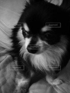 犬の写真・画像素材[155157]