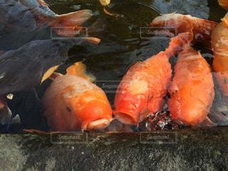 魚の写真・画像素材[358745]