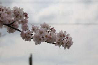 桜 さくら Cherry blossomの写真・画像素材[2830212]
