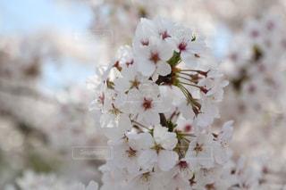 花桜 さくら Cherry blossomの写真・画像素材[2830394]