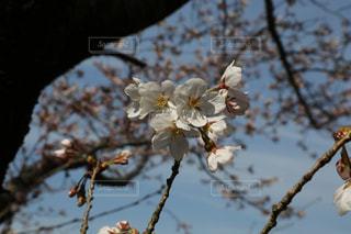 桜 さくら Cherry blossom🌸の写真・画像素材[2830397]