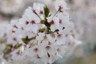 桜 さくら Cherry blossom🌸の写真・画像素材[2830399]