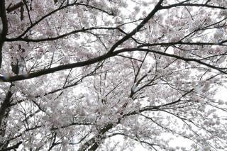 桜満開🌸の写真・画像素材[2830404]