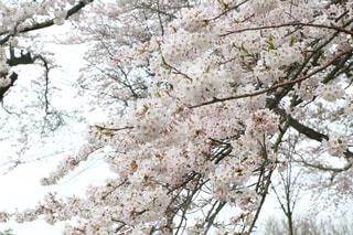 満開の桜の写真・画像素材[2830412]
