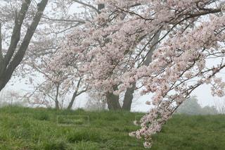 早朝の桜の写真・画像素材[2830451]