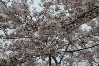 桜がいっぱいの写真・画像素材[2830467]