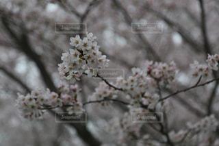 桜の写真・画像素材[2830466]