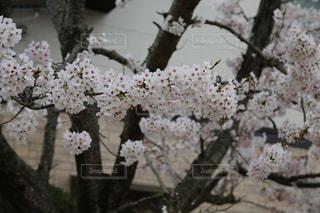 桜満開の写真・画像素材[2830476]