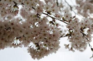 満開の桜です🌸の写真・画像素材[2830478]