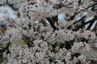 満開の桜の写真・画像素材[2830481]