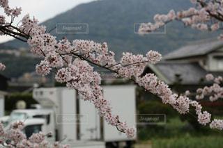桜の枝の写真・画像素材[2830486]