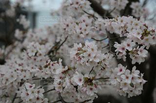 桜🌸さくら🌸 Cherry blossomの写真・画像素材[2830489]