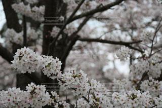 いーっぱいの桜が満開です🌸の写真・画像素材[2830491]