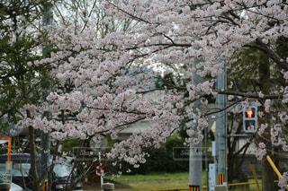 桜の横の信号の写真・画像素材[2830493]