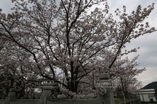 桜 さくら Cherry blossom🌸の写真・画像素材[2830496]