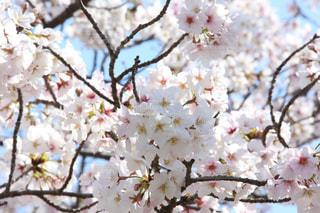 2020年(令和2年) の桜です。どんな出来事があっても綺麗な花を咲かせています。の写真・画像素材[3073278]