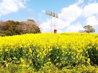 総合運動公園の菜の花の写真・画像素材[3109895]