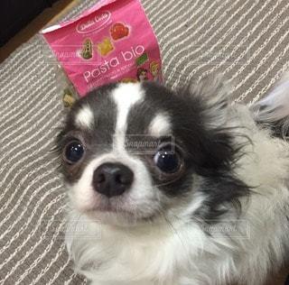 犬の写真・画像素材[109514]