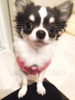 犬の写真・画像素材[109519]