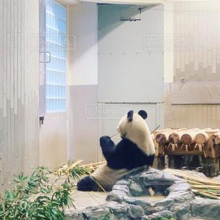 立派な背中のパンダの写真・画像素材[1797044]