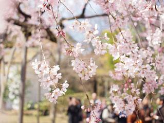 桜の写真・画像素材[2868027]