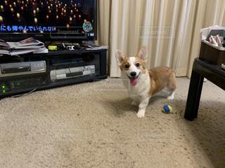 コーギー犬 子犬7ヵ月の写真・画像素材[2837705]