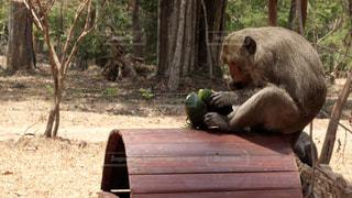 アンコールワットの猿の写真・画像素材[133800]