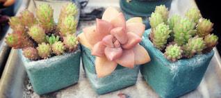 多肉植物の写真・画像素材[1141721]