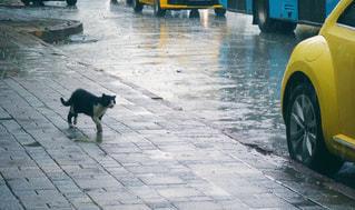 雨の中のネコの写真・画像素材[1342624]
