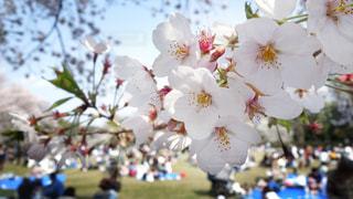桜の写真・画像素材[2111038]