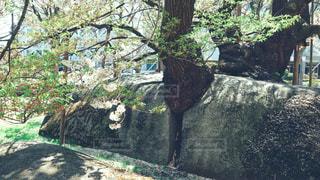 石割桜の写真・画像素材[2111223]