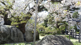 石割桜の写真・画像素材[2111224]