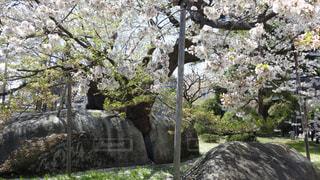 石割桜の写真・画像素材[2111225]