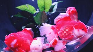 金魚の写真・画像素材[2766408]