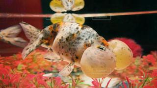 金魚の写真・画像素材[2766412]